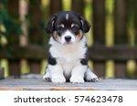 Adorable Tricolor Corgi Puppy...