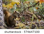 Close Up Of A Red Squirrel...