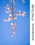wild himalayan cherry with blue ... | Shutterstock . vector #574673188