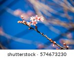 wild himalayan cherry with blue ... | Shutterstock . vector #574673230