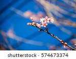wild himalayan cherry with blue ... | Shutterstock . vector #574673374