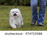 Dog Walking   White Maltese Do...