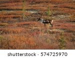 caribou in colorful fall... | Shutterstock . vector #574725970