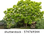 Tree With Large White Flowers...