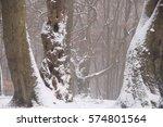 Old Beech Tree Trunks In Winte...