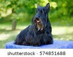 Black Scotch Terrier Posing On...