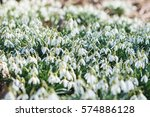 Spring Snowdrops. A Lot Of...