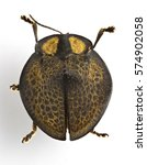 Small photo of Beetle specimen. Focus stacked macro image of Agenysa gibbosa (a species of tortoise beetle).