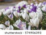 crocus flower heads. pretty...   Shutterstock . vector #574906393