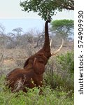 Small photo of A big African elephant stretching its trunk to eat the acacia leaves