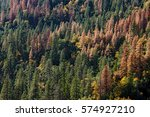 Hillside Of Pine Trees  With...