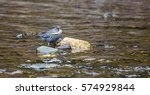 Small photo of An American Dipper (Cinclus mexicanus) with a fish caught from a shallow stream.