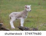 Lamb  Side Profile  Natural...