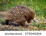 echidna  native fauna of... | Shutterstock . vector #575040304