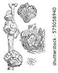 galls aleppo pine  vintage... | Shutterstock . vector #575058940