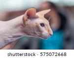peterbald   petersburg sphynx | Shutterstock . vector #575072668