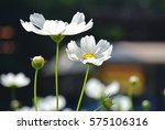 White Cosmos Flower In Cosmos...