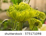 green flowers of spider... | Shutterstock . vector #575171098