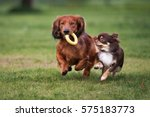 Stock photo two small dogs playing together outdoors 575183773