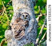 Small photo of A Barred owl perched in front of a white oak nesting hole on a spring day in North Alabama.