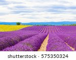 Blossoming Lavender And...