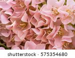 the sweet pink flowers of pink... | Shutterstock . vector #575354680
