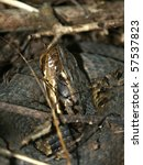 Small photo of Cottonmouth (Agkistrodon piscivorus) - Shawnee Hills, Illinois