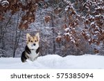 Welsh Corgi On A Walk In The...