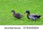 Small photo of pair of ducks for a walk