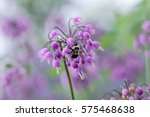 Small photo of Delicate Nodding Onion flower in light purple (Allium cernuum) with bumble bee feeding