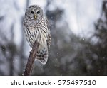 Stock photo close up image of a barred owl in the wild perched on a tree limb snowy day in northern 575497510