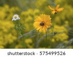 beetle pollinates a yellow... | Shutterstock . vector #575499526