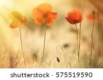 poppy flowers lit by the sun... | Shutterstock . vector #575519590
