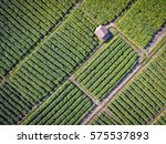 tobacco plants farmland high... | Shutterstock . vector #575537893