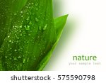 green leaves of lily of the... | Shutterstock . vector #575590798