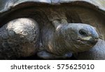 Small photo of Aldabra giant tortoise - Aldabrachelys gigantea on Curieuse island , Seychelles. More than 300 giant tortoises were relocated from Aldabra to Curieuse within conservation project to protect wildlife