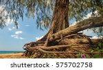 Small photo of Bottom view of Casuarinaceae tree in Nang Thong Beach, Khao Lak, Thailand. Old tree with winding roots growing on the white sand beach. Summer holiday vacation background