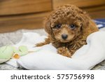 Brown Toy Poodle Lying On...