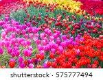 tulip. beautiful bouquet of... | Shutterstock . vector #575777494