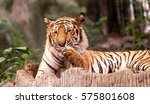 behavior of the tiger. | Shutterstock . vector #575801608