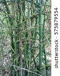bamboo  bambusa bambos  l. ... | Shutterstock . vector #575879554