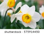 White Narcissus Growing In The...