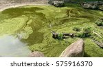 Small photo of Blue-green algae, also called Cyanobacteria, are photosynthetic bacteria referred to as pond scum. They grow in pond when the water is warm and enriched with food nutrients.