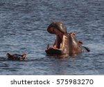 Hippos Of Okavango Delta