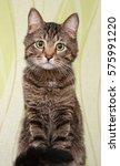young beautiful striped kitten...   Shutterstock . vector #575991220