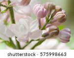 White And Pink Lilacs Flowers...