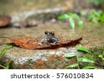 Common Frog Macro  Portrait In...