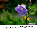 Blue Bell Flowers Purple Bell...