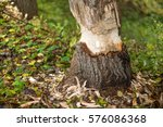 beavers building a dam in a... | Shutterstock . vector #576086368