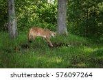 Adult Female Cougar  Puma...